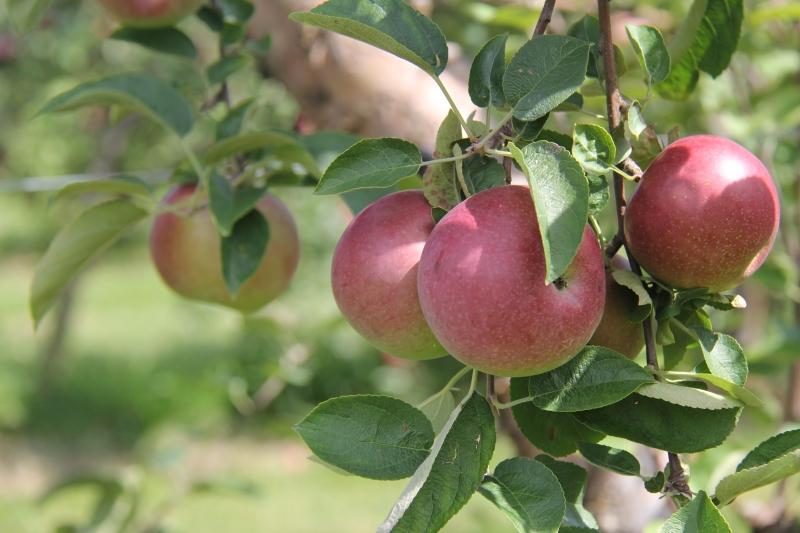 Royal Oak Farm Orchard Apple Picking